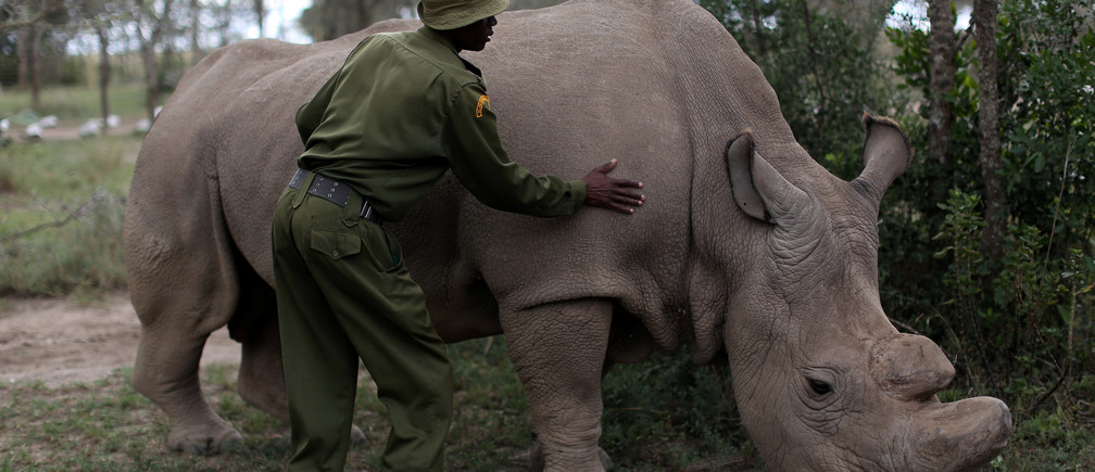 A wildlife ranger strokes a northern white rhino, only three of its kind left in the world, ahead of the Giants Club Summit of African leaders and others on tackling poaching of elephants and rhinos, Ol Pejeta conservancy near the town of Nanyuki, Laikipia County, Kenya, April 28, 2016.