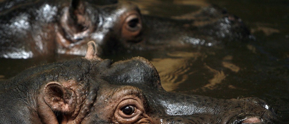 Hippos stand in their enclosure in Sofia city zoo January 9, 2009. About 1,300 animals in the  zoo were left without gas to heat their enclosures on Thursday, the latest victims of the Russia-Ukraine supply row. The zoo  rushed to switch to electric heaters to keep its elephants, monkeys, parrots, rhinos and hippos warm in the sub-zero temperatures.  REUTERS/Stoyan Nenov   (BULGARIA) - GM1E5191IT601