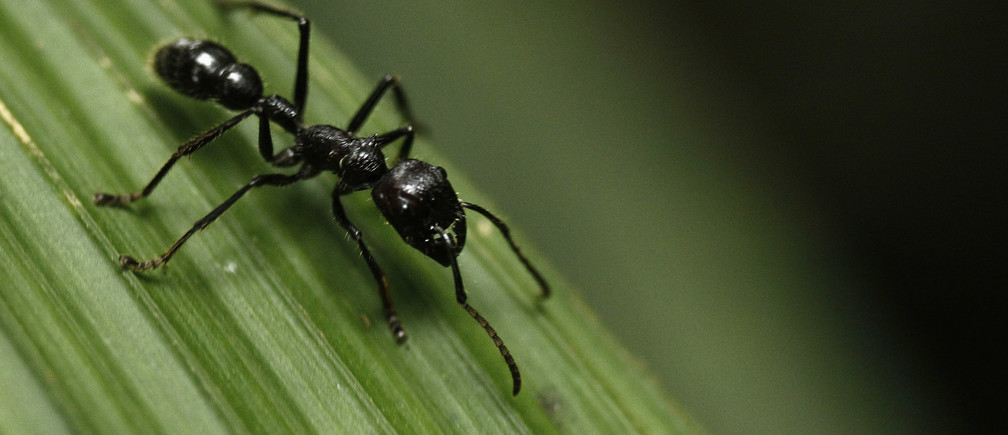 A bullet ant (Paraponera Clavatta) walks on a leaf at the Braullio Carrillo National Park, 50 kilometers (31 miles) east of San Jose, June 5, 2012. According to a recent poll, Costa Ricans would agree to pay higher taxes if it is used for actions to promote the environment, according to local media. Costa Rica, with more than 30% of its territories held in national parks, celebrates World Environment Day today. REUTERS/Juan Carlos Ulate (COSTA RICA - Tags: ENVIRONMENT SOCIETY ANIMALS) - GM1E86608PS01