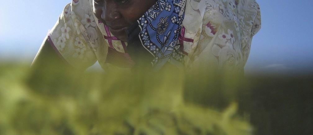 A Seaweed farmer Nyafu Juma Uledi tends her crop. Local women have earned a degree of financial independence by farming seaweed in Zanzibar.