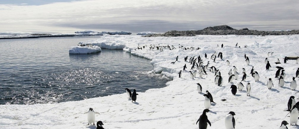 Adelie penguins walk on the ice at Cape Denison in Antarctica.