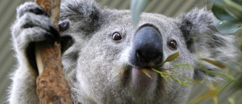 A koala chews eucalyptus leaves at an animal park in Sydney September 26, 2008. They're cute, they're cuddly and, in these times of financial woe, they make an affordable festive gift that's also good for the soul - adopt a rescued koala. Picture taken September 26, 2008. To go with Reuters Life! LIFE-KOALA/     REUTERS/Daniel Munoz (AUSTRALIA)