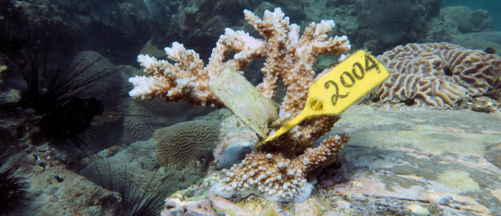 Coral grows after being transplanted near Dibba Port in Fujairah, United Arab Emirates, June 15, 2020. Picture taken June 15, 2020. REUTERS/Christopher Pike - RC2MBH93INCZ