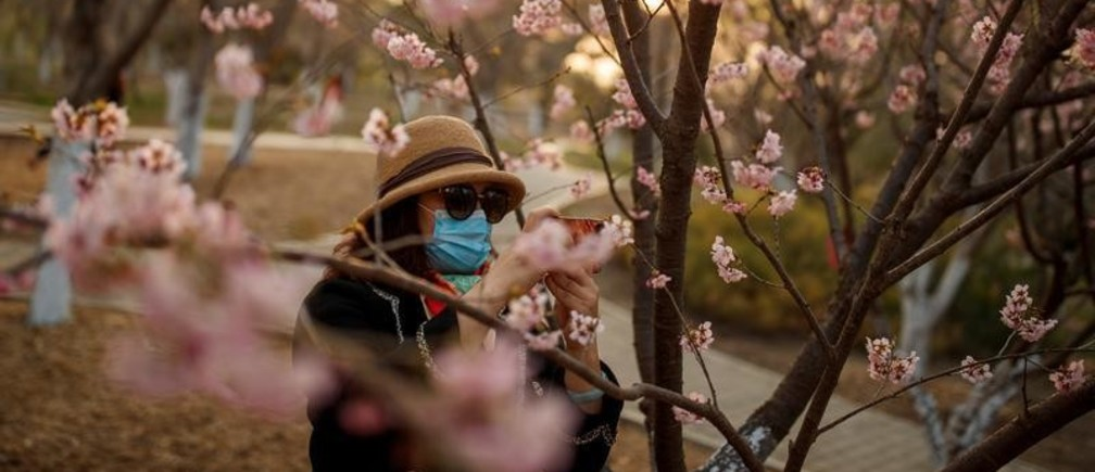 Mujer con mascarilla toma fotos del florecimiento de los cerezos en un parque en Wuhan.