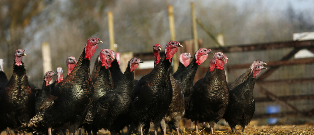 Free range Norfolk Black turkeys stand in woodland at Church Farm in Ardeley, southern England December 12, 2012. Some 200 Church Farm turkeys are due to be slaughtered in time for Christmas. REUTERS/Stefan Wermuth (BRITAIN - Tags: AGRICULTURE ANIMALS SOCIETY) - RTR3BHSQ