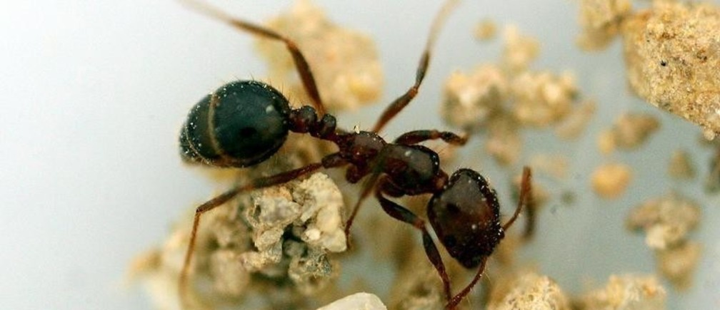 An ant whose species was not previously found in Hong Kong was caught in a wetland park in the territory January 27, 2005. Officers from the Agriculture, Fisheries and Conservation Department spotted more than 10 anthills on Wednesday and Thursday they suspected were built by these ants not previously found locally. The city is on guard against a new health threat to combat the spread of red fire ants after the feared insect from mainland China may have reached Hong Kong. NO RIGHTS CLEARANCES OR PERMISSIONS ARE REQUIRED FOR THIS IMAGE. REUTERS/Bobby Yip  BY/LA - RP5DRIFPDYAA