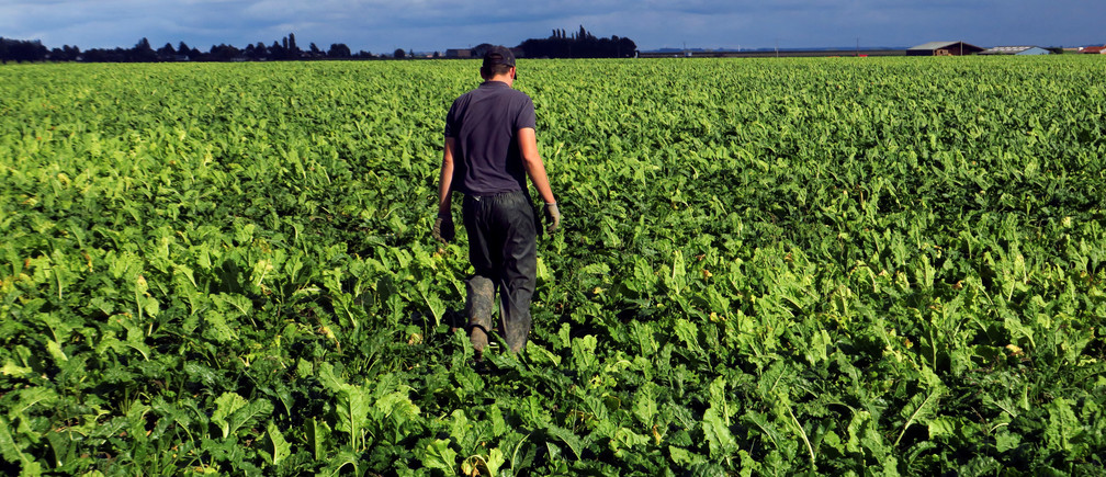 A French farmer walks in his sugar beet field in Epinoy, France, August 13, 2018. REUTERS/Pascal Rossignol - RC1CDA68DB80