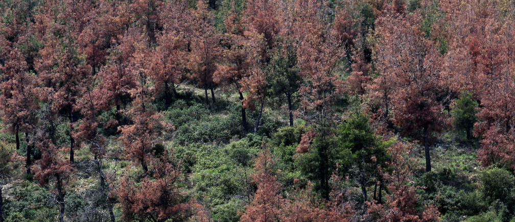 Trees affected by the Tomicus Piniperda beetle are seen at the forest of Seich Sou in Thessaloniki, Greece, June 20, 2019. Picture taken June 20, 2019. REUTERS/Alexandros Avramidis - RC15238D5100