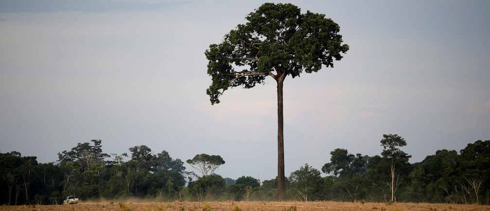 A tree known as Castanheira-do-Brasil stands during an operation to combat illegal mining and logging in northern Brazil