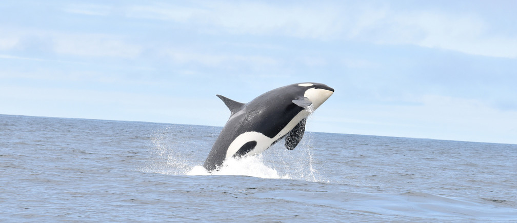 A Southern Resident killer whale swims off the southwest coast of Vancouver Island, British Columbia, Canada, June 30, 2019, in this picture obtained from social media. Picture taken June 30, 2019. Mandatory credit FISHERIES, OCEANS AND CANADIAN COAST GUARD/via REUTERS ATTENTION EDITORS -  THIS IMAGE HAS BEEN SUPPLIED BY A THIRD PARTY. MANDATORY CREDIT. - RC1BFA02BC30