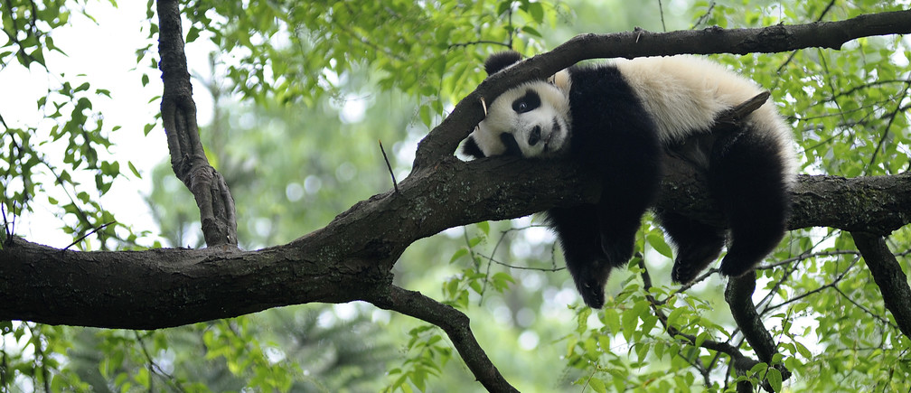 """A giant panda rests on a tree """"panda kindergarten"""", a refuge for baby pandas, inside Bifengxia giant panda base in Ya'an, Sichuan province April 26, 2013, after an earthquake hit Lushan on April 20, some 20 miles (32 km) away. According to local reports, more than half of the pandas in Bifengxia were resettled from Wolong panda base after an 7.9 earthquake in 2008 killed nearly 70,000 people. REUTERS/Stringer (CHINA - Tags: ANIMALS SOCIETY TPX IMAGES OF THE DAY) CHINA OUT. NO COMMERCIAL OR EDITORIAL SALES IN CHINA - RTXZ0SY"""