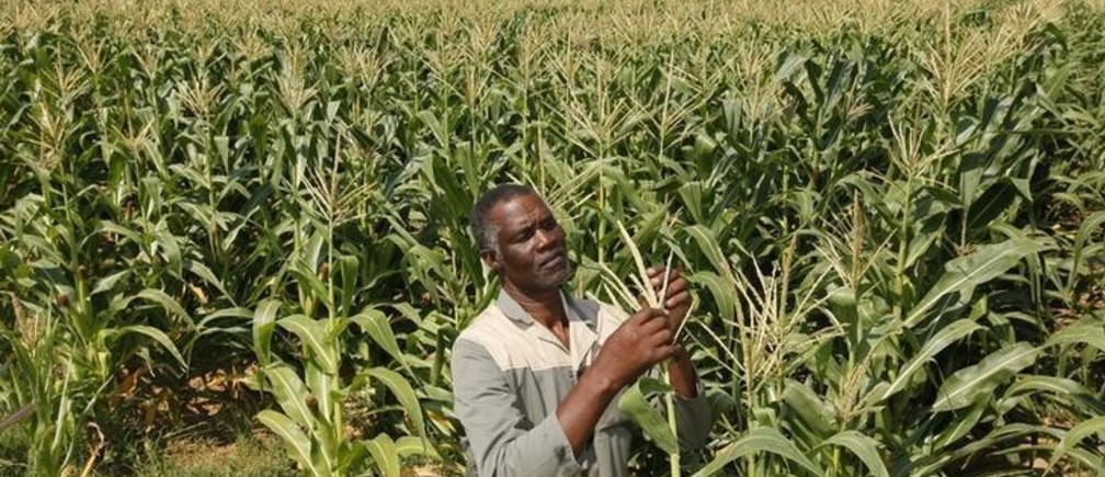 Koos Mthimkhulu inspects his crop at his farm in Senekal, about 287km (178 miles) in the Eastern Free State, in this February 29, 2012 file photo. South Africa's plans to undo the wrongs of apartheid by returning land seized from native blacks is embodied in the life of Mthimkhulu. He was born on a white-owned farm in 1955 and attended a school set up by white farmers to give him only enough education for a life as field hand. A short childhood gave way to decades of milking cows, driving tractors and plowing fields for poverty-level wages. When white-minority apartheid rule ended in 1994, the new democratic government made it a top priority to return land to those who were dispossessed, placing the idea in the country's new constitution.  It selected Mthimkhulu for a reform programme where it would buy agricultural land from white farmers and turn it over to blacks who had legitimate claims for the territory. Picture taken February 29, 2012. REUTERS/Siphiwe Sibeko (SOUTH AFRICA - Tags: AGRICULTURE POLITICS ENVIRONMENT BUSINESS)