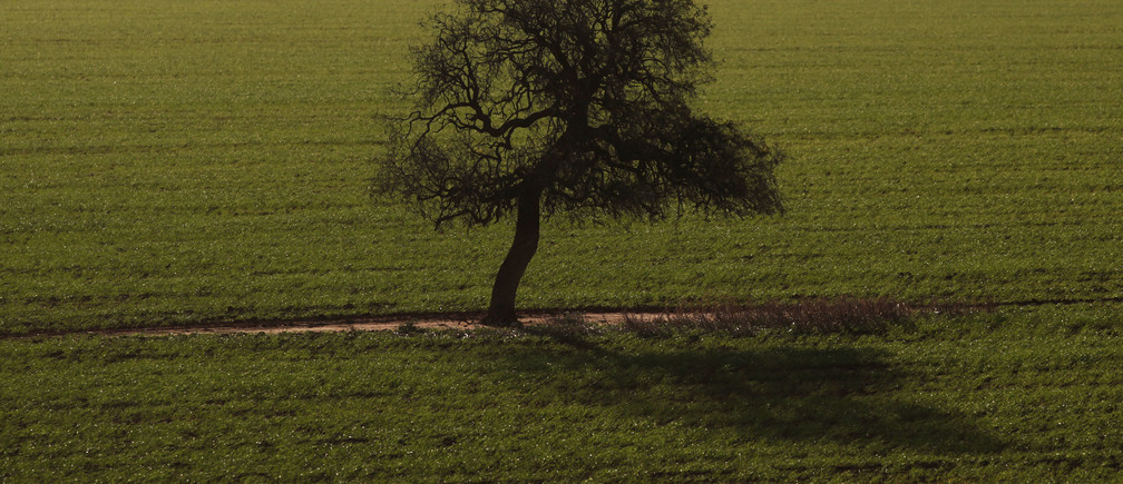 A tree casts a shadow over a wheat crop at a farm in Condobolin, 285 miles (489 km) west of Sydney July 5, 2011. Australia's grain farmers, forecast to produce a close to record wheat crop in 2011/12, are becoming less optimistic about a bumper harvest as soils around the country start to dry out because of low rainfall. Picture taken July 5.  REUTERS/Daniel Munoz (AUSTRALIA - Tags: BUSINESS AGRICULTURE) - GM1E7760M0W01