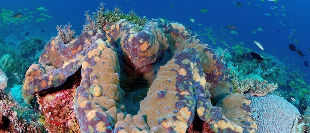 Tridacna gigas, the world's largest giant clam