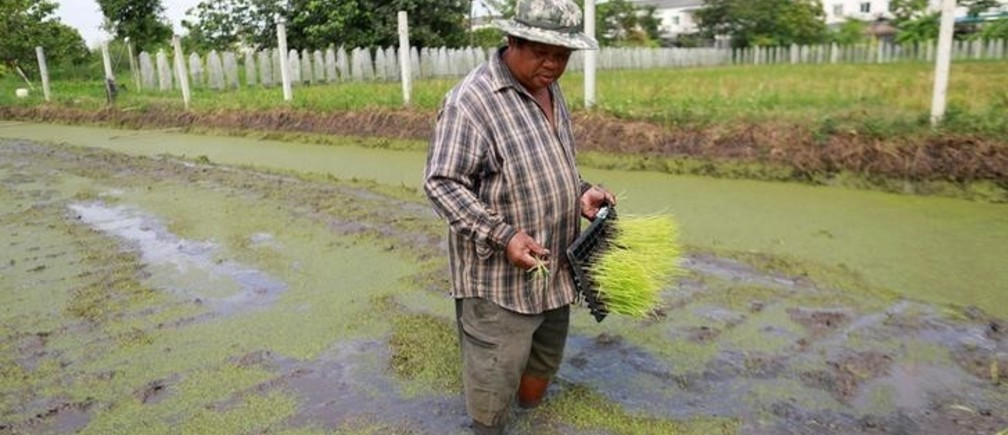 Sompot Tubcharoen, 60, cultivates rice plants at his farm in Bangkok, Thailand August 28, 2018. Picture taken August 28, 2018. REUTERS/Soe Zeya Tun