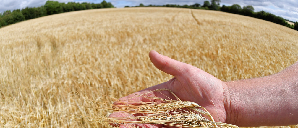 Farmer David Barton holds an example of his barley crop in his hand at Manor Farm in Middle Duntisbourne in south west Britain, August 1, 2018. Picture taken August 1, 2018. REUTERS/Toby Melville - RC18BC585D00