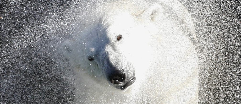 Seven-year-old polar bear Commander Sedov shakes off water in his pool at the Royev Ruchey zoo while playing with a ball in the Siberian city of Krasnoyarsk, October 4, 2009. Unusually warm weather for this time of the year with temperatures over 20 degrees Celsius (68 degrees Fahrenheit) has prompted the bear to spend much of his time in his pool. REUTERS/Ilya Naymushin    (RUSSIA ENVIRONMENT ANIMALS)   FOR BEST QUALITY IMAGE: ALSO SEE GM1E5AO05B301 - GM1E5A41GLB01