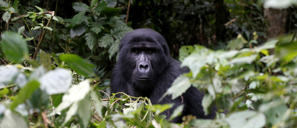 A male mountain gorilla from the Mukiza group is seen in the forest within the Bwindi National Park near the town of Kisoro, Uganda March 31, 2018. REUTERS/Baz Ratner - RC1B34A51800