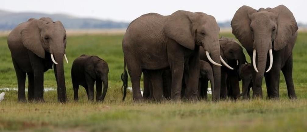 A family of elephants walk in Amboseli National Park, southeast of Kenya's capital Nairobi, April 25, 2016. REUTERS/Thomas Mukoya/File Photo
