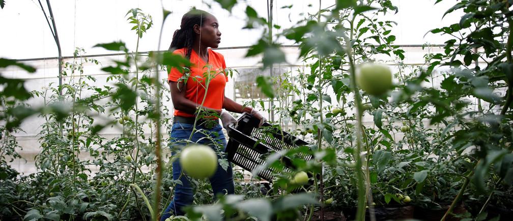 Entrepreneur and farmer Kofoworola Durosimi-Etti works in her greenhouse farm in Ikorodu on the outskirt of Nigeria's commercial capital Lagos, Nigeria May 11, 2017. REUTERS/Akintunde Akinleye - RC1BB7623B00