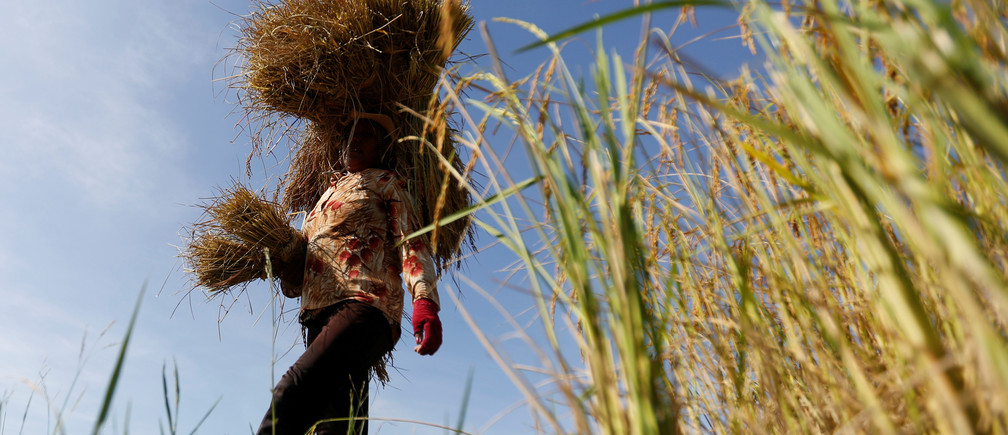 A farmer works in a rice paddy field outside Phnom Penh, Cambodia, December 5, 2016. REUTERS/Samrang Pring - RTSUO78