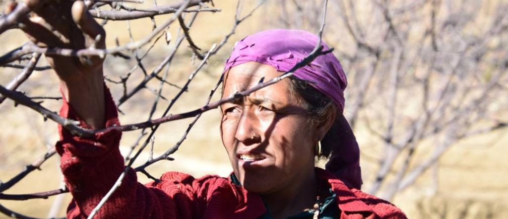 Parwati Rawat tends to her apple orchard in Dhaulapani village, Jumla district, Nepal, February 3, 2019.