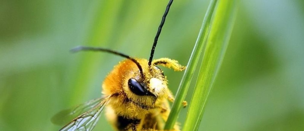 A bee is covered with pollen as it sits on a blade of grass on a lawn in Klosterneuburg April 29, 2013. The European Commission said on Monday it would go ahead and impose a temporary ban on three of the world's most widely used pesticides because of fears they harm bees, despite EU governments failing to agree on the issue. In a vote on Monday, EU officials could not decide whether to impose a two-year ban - with some exceptions - on a class of pesticides known as neonicotinoids, produced mainly by Germany's Bayer and Switzerland's Syngenta. The Commission proposed the ban in January after EU scientists said the chemicals posed an acute risk to honeybees, which pollinate many of the crops grown commercially in Europe. REUTERS/Heinz-Peter Bader (AUSTRIA - Tags: AGRICULTURE ANIMALS ENVIRONMENT TPX IMAGES OF THE DAY