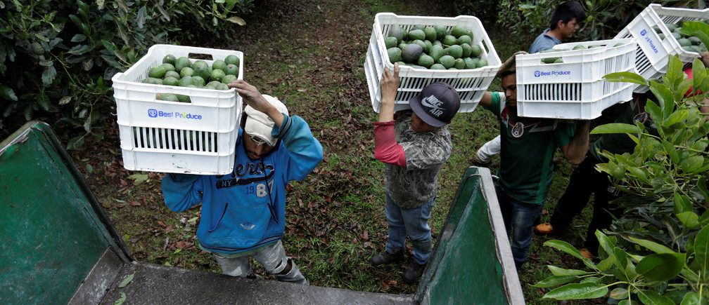 Mexican farm workers carry crates of freshly picked avocados.