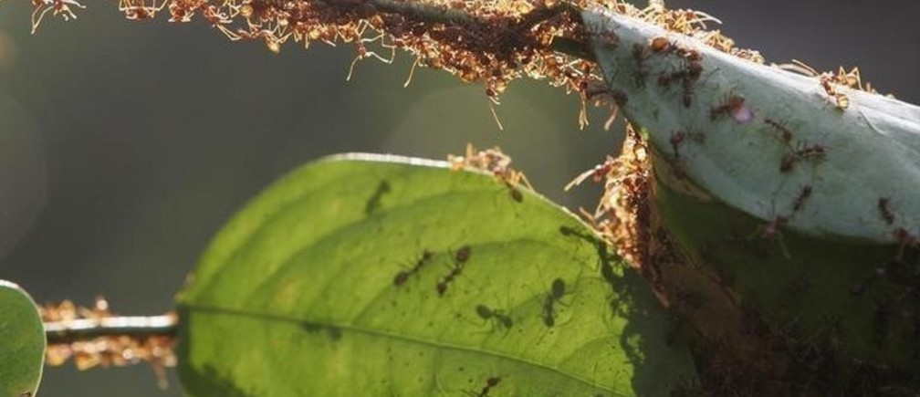 A colony of weaver ants build their nest from leaves in Kuala Lumpur January 31, 2009. Weaver ants get their name from their habit of binding fresh leaves with silk to form their nests. Their lifecycle spans a period of 8 to 10 weeks. REUTERS/Zainal Abd Halim (MALAYSIA)