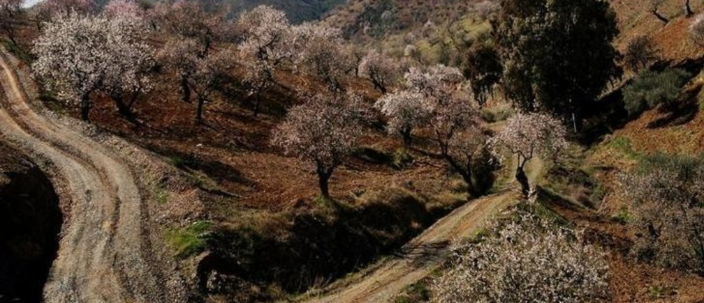 Almond trees are covered in pink blossom in Alozaina, southern Spain March 6, 2005. NO RIGHTS CLEARANCES OR PERMISSIONS ARE REQUIRED FOR THIS IMAGE. REUTERS/Rafael Marchante  MDP/SN