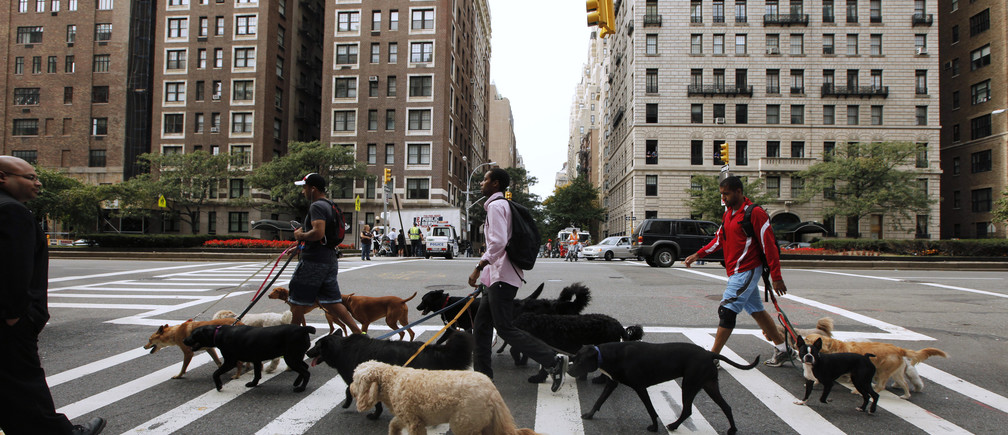 Dog walkers walk across a street while walking down Park Avenue in the upper east side of New York October 11, 2011. REUTERS/Lucas Jackson (UNITED STATES - Tags: ANIMALS SOCIETY) - GM1E7AC0FW201