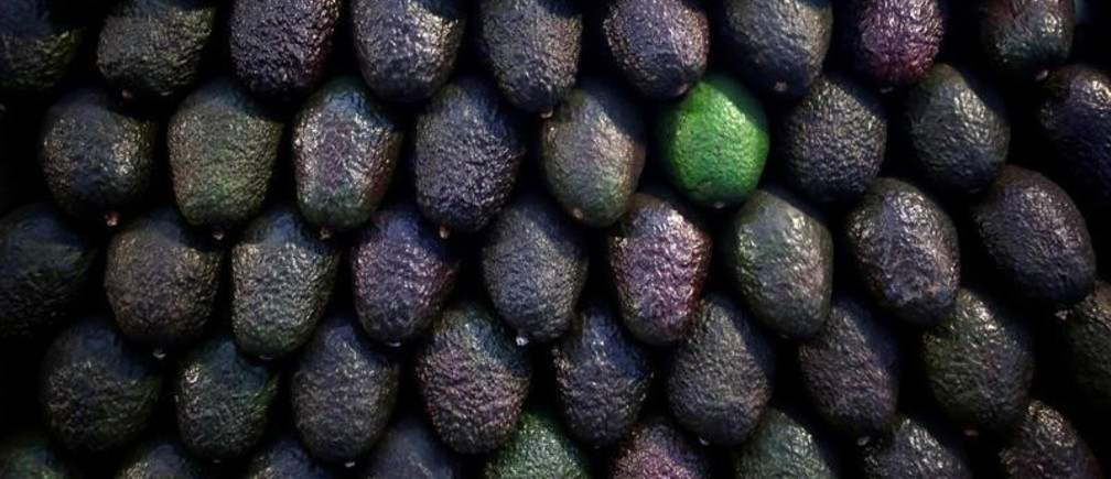 """Avocados are on display for sale at the wholesale market """"Central de Abastos"""" in Mexico City, Mexico January 11, 2019. Picture taken January 11, 2019. REUTERS/Daniel Becerril - RC18919FABB0"""