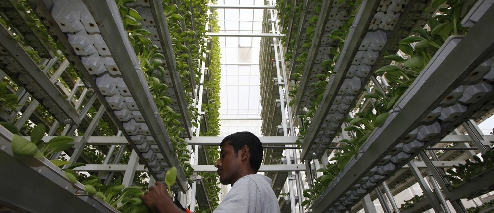 A worker harvests fresh produce from a tower at Sky Greens vertical farm in Singapore July 30, 2014. While Singapore ranks fifth out of 109 countries in the Economist Intelligence Unit's global food security index, the government wants to diversify its food sources and become more self reliant in producing eggs, fish and leafy vegetables. As part of its efforts, it has provided some funding and research support to local vertical farming company Sky Greens, which grows leafy vegetables at its farm in three-storey high frames inside greenhouses. Picture taken July 30, 2014. REUTERS/Edgar Su (SINGAPORE - Tags: SCIENCE TECHNOLOGY AGRICULTURE FOOD SOCIETY BUSINESS TPX IMAGES OF THE DAY) - RTR413J3