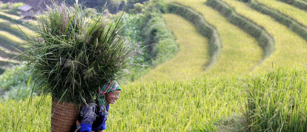 A Vietnamese woman of Hmong ethnic tribe carries a grass basket on a terraced rice paddy field during the harvest season in Mu Cang Chai, northwest of Hanoi October 3, 2015.  REUTERS/Kham - GF10000231127