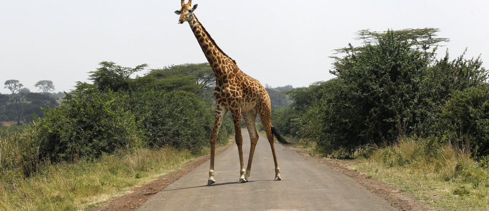 A giraffe walks across a paved road at the Nairobi National Park in Kenya's capital Nairobi, September 19, 2014. The park is located just 7 km (4 miles) away from the city centre of Nairobi. REUTERS/Thomas Mukoya (KENYA - Tags: SOCIETY ANIMALS) - GM1EA9J1O7P01