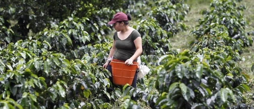 A farmer harvests coffee beans at a farm near Sasaima city May 14, 2012. The Free Trade Agreement between Colombia and the United States takes effect on May 15. REUTERS/Jose Miguel Gomez (COLOMBIA - Tags: AGRICULTURE BUSINESS POLITICS) - GM1E85F0CBT01