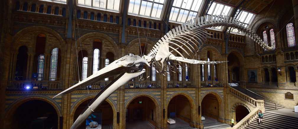A giant blue whale skeleton is unveiled in the Hintze Hall at the Natural History Museum, London, Britain July 13, 2017. REUTERS/Hannah McKay      TPX IMAGES OF THE DAY - RC15A490FD60