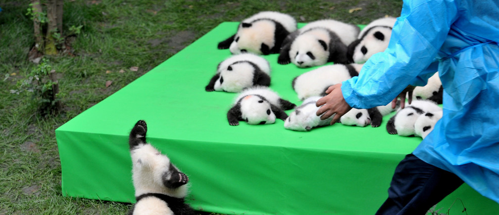 A giant panda cub falls from the stage while 23 giant pandas born in 2016 are seen on a display at the Chengdu Research Base of Giant Panda Breeding in Chengdu, Sichuan province, China, September 29, 2016. China Daily/via REUTERS ATTENTION EDITORS - THIS IMAGE WAS PROVIDED BY A THIRD PARTY. EDITORIAL USE ONLY. CHINA OUT. NO COMMERCIAL OR EDITORIAL SALES IN CHINA.         TPX IMAGES OF THE DAY      - RTSPZEX