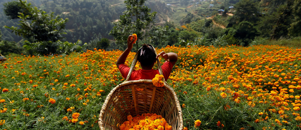 A woman picks marigold flowers used to make garlands and offer prayers, before selling them to the market for the Tihar festival, also called Diwali, in Kathmandu, Nepal October 17, 2017. REUTERS/Navesh Chitrakar - RC142F748890