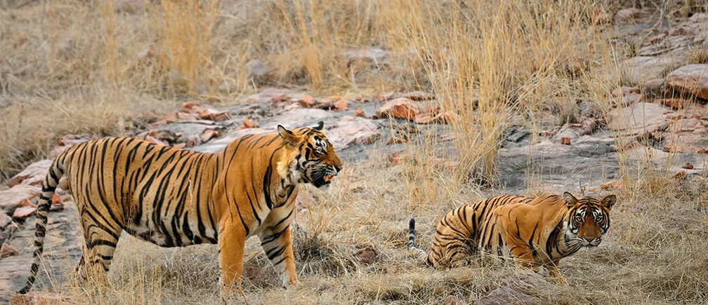 This couple quit their jobs and created a forest for Indian tigers ...