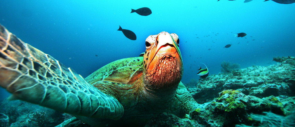 A giant green turtle rests on a coral reef at a diving site near the island of Sipadan in Celebes Sea east of Borneo November 7, 2005.