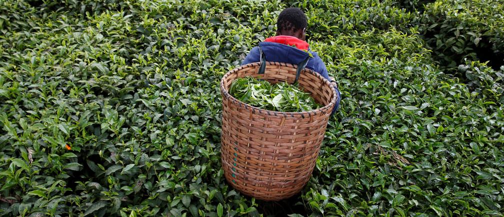 A woman picks tea leaves at a plantation in Kiambu County, near Nairobi, Kenya, April 26, 2018. REUTERS/Baz Ratner - RC1123719F90