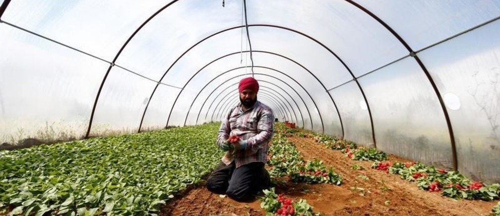 A Sikh migrant worker picks radishes in a polytunnel in Bella Farnia, in the Pontine Marshes, south of Rome. Originally from IndiaÕs Punjab state, the migrant workers pick fruit and vegetables for up to 13 hours a day for between 3-5 euros ($3.30-$5.50) an hour, in Bella Farnia, Italy May 20, 2019. Picture taken May 20, 2019 REUTERS/Yara Nardi - RC180D822A20