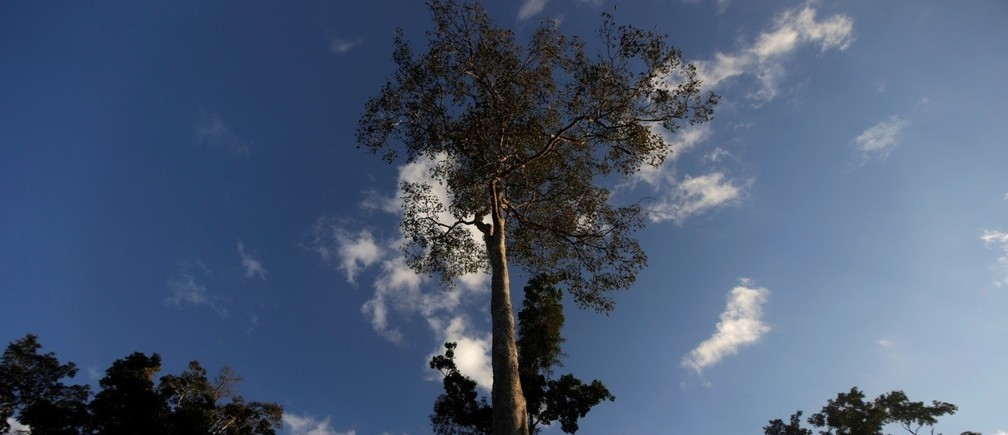 A Seringueira rubber tree, which is native to the Amazon rainforest, stands in Chico Mendes Extraction Reserve in Xapuri, Acre state, Brazil
