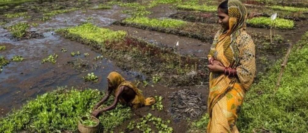 インド、オリッサ州の水上菜園は、食料安全保障と収入源の確保、水中および陸上の塩分濃度削減にもつながります