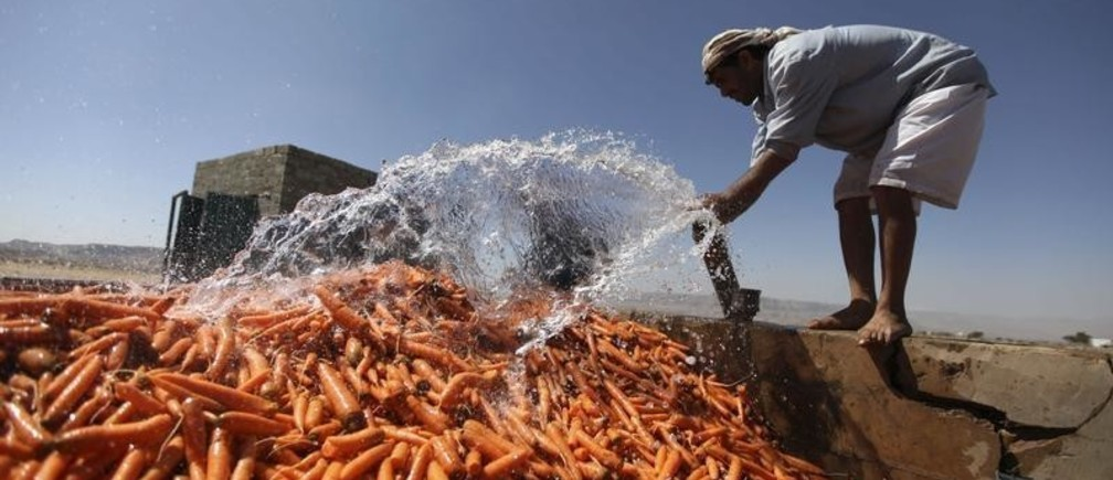 A man washes carrots in a ranch near the historic city of Thula located in Amran governorate, 45 km northwest of Sanaa, November 24, 2012. REUTERS/Mohamed al-Sayaghi (YEMEN - Tags: AGRICULTURE SOCIETY) - GM1E8BP03ER01