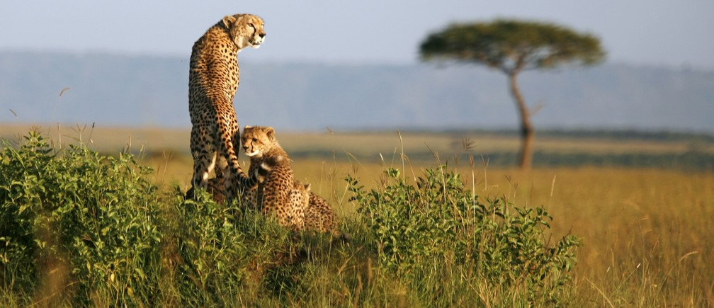 A cheetah and her cubs observe the plains in Masai Mara game reserve, April 26, 2008.