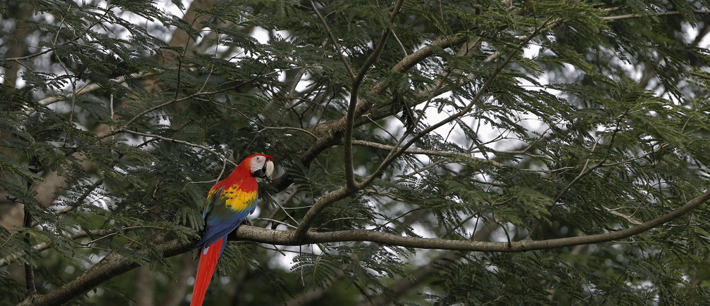 A Scarlet Macaw rests on a tree after it was released at a forest in Paquera, northwest of San Jose, October 19, 2012. REUTERS/Juan Carlos Ulate
