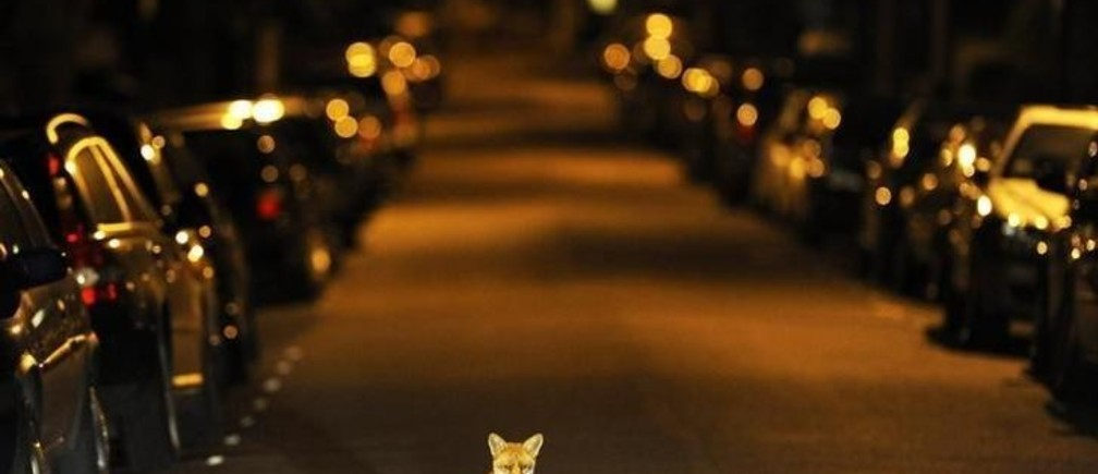 An urban fox sits in the middle of a south London road in the early hours of September 17, 2008.   REUTERS/Dylan Martinez     (BRITAIN)