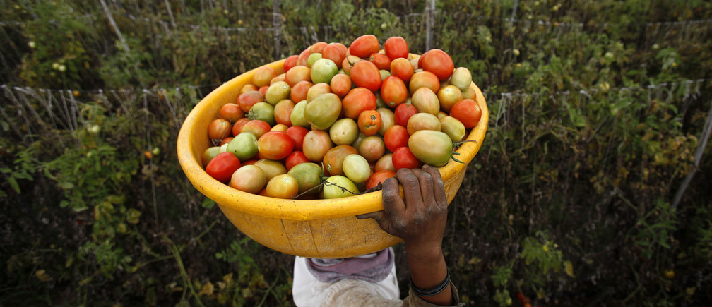 A labourer carries harvested tomatoes in a basket on her head at a farm that supplies fresh produce to Wal-Mart in Narayangaon, about 180 km (112 miles) west of Mumbai, September 28, 2012. Picture taken September 28, 2012. To match Analysis WALMART-INDIA-SUPPLIERS REUTERS/Vivek Prakash (INDIA - Tags: BUSINESS FOOD AGRICULTURE) - GF2E8A50MCZ01